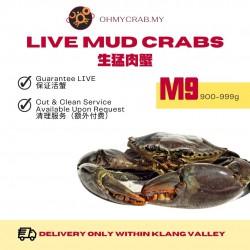 Live Mud Crab M9 (900-990g)